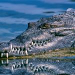 crocodile-australian-wildlife
