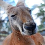 kangaroo australia wildlife thumb