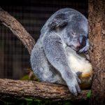 koala wildlife australia